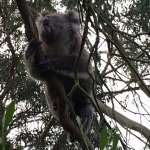Photo of Phillip Island Nature Parks - Koala Conservation Centre