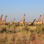 Tswalu Kalahari - Giraffes