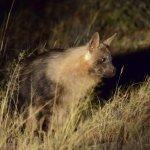 Tswalu Kalahari - Brown Hyena