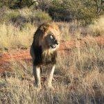 Tswalu Kalahari - Black-Maned Kalahari Male Lion