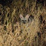 Tswalu Kalahari - Aardwolf