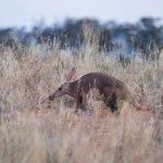 Tswalu Kalahari - Aardvark