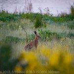 Hare on full alert
