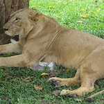 One of the resident lion at the Safari Park.