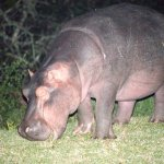 Hippo grazing on lawn at night outside the restaurant.