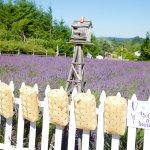 PYO Lavender bunches