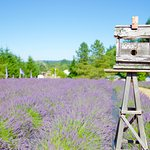 Looking at the PYO rows of lavender
