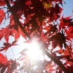 Sun dappled Maple