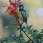 Collared Sunbird in the sun on forest trail.