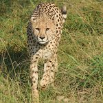 Cheetah approaching our van while fleeing from a pack of African Wild Dogs.