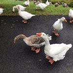 The friendly geese that greet you as you stroll the grounds of the inn.