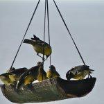Bananaquits at the feeder