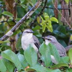 Pair of mocking birds