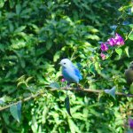 A blue and a green tanager