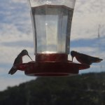 They have hummingbird feeders at the dining room!