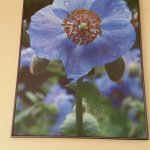 the name of the cafe blue poppy