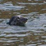 phoque gris aux sept îles