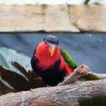 Birdworld Kuranda - Lorikeet