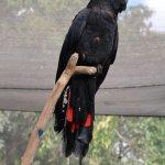 Birdworld Kuranda - Red-tailed Black Cockatoo