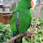 Birdworld Kuranda - Electus Parrot