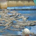 Photo de Hartley's Crocodile Adventures
