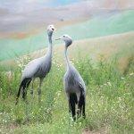 African Gray Cranes