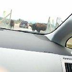 Entering bison enclosure