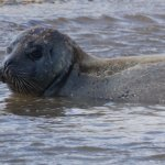 One of the many curious seals that did venture into the sea to see what was going on