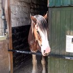 Finn the Clydesdale