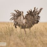One of the ostriches you might see in the Serengeti!