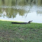 First close encounter with an alligator in the wild