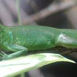 green iguana through the scope