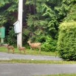 Deer at front entrance of B&B