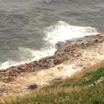 Sea Lions on the cliff