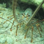 lobster discovered during snorkeling