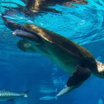 Turtle in the shark tank
