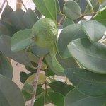 spoons jaffa first guava !
