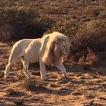 The Elusive White Lion