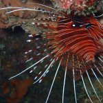 Blue spot or Broadbarred Lionfish