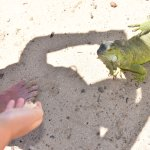 Feeding the iguana!