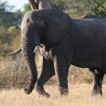 Bull elephant in Hwange National Park.