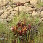 The carnivorous pitcher plant and Newfoundland's provincial plant