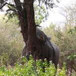 Elephant shaking the tree.