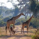 Giraffes and a kudu on a game drive.
