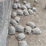 criadero de tortugas en isla isabela  galapagos