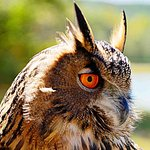 Yonah the Eurasian Eagle Owl