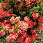 Our Ixora plant (Flame of the Woods) in full bloom.