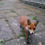 Neighborhood fox so tame that she'll eat from your hands