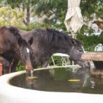 Wild Horses drinking from our fountain