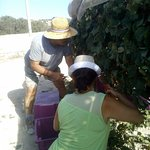 Doreen being shown how to cut the grapes by one of the Cortis Brothers